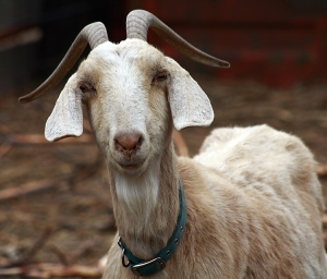 TOP-STORY-3-GOAT